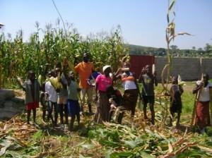 2010 03 Maize harvest